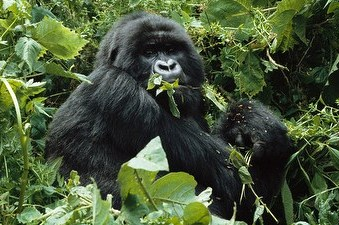 If you think you can not build muscle eating vegetables, try wrestling a gorilla